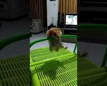 Acrobatic Hamster - acrobatic hamster
