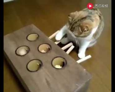 Cat owner to his house cat playing hamster, almost frenzied, so funny ~ - cat owner to his house cat playing hamster almost frenzied so funny