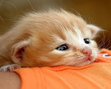 Cutest Bobtail Kittens Compilation! - cutest bobtail kittens compilation