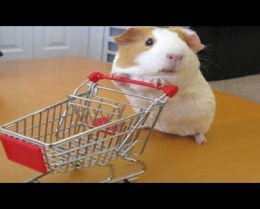 Funny And Cute Guinea Pig Videos - Compilation 2018 - funny and cute guinea pig videos compilation 2018