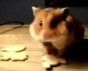 Funny Daring Hamster Funny Animal Compilation 2014 - funny daring hamster funny animal compilation 2014