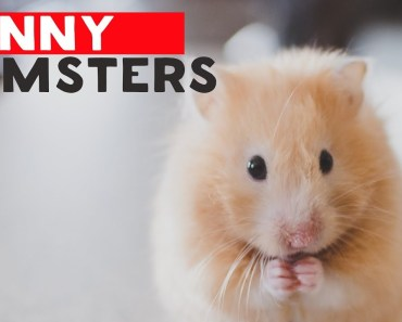 Funny Hamsters Videos 2018 Compilation #2 - funny hamsters videos 2018 compilation 2