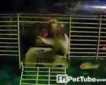 Hamster Breakout- PetTube - hamster breakout pettube