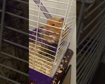 Hamster chewing cage p.2 funny version - hamster chewing cage p 2 funny version