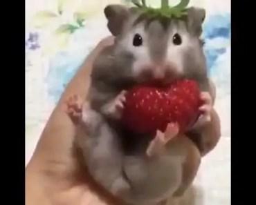 Hamster eating strawberry - hamster eating strawberry