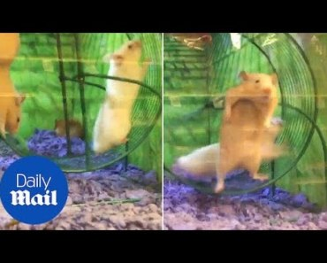 Hamster is taken for a spin by friend who hogs the wheel - Daily Mail - hamster is taken for a spin by friend who hogs the wheel daily mail