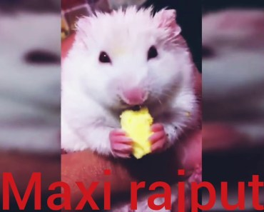 how to hamsters Mouse A Cute Hamster And Funny Hamster Videos - how to hamsters mouse a cute hamster and funny hamster videos