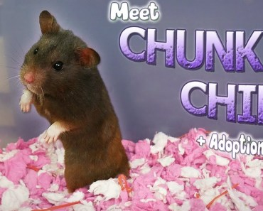 Meet Chunky Chip | My Syrian Hamster + Adoption Story - meet chunky chip my syrian hamster adoption story