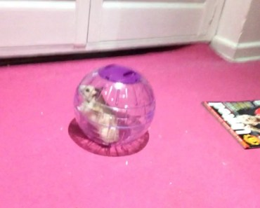 So funny hamster rolls out of my room - so funny hamster rolls out of my room
