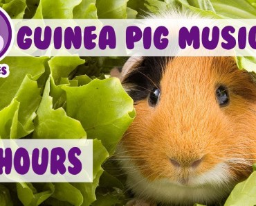 The BEST Remedy For Your Anxious Guinea Pig! The Only Pet Therapy For your Depressed Guinea Pig - the best remedy for your anxious guinea pig the only pet therapy for your depressed guinea pig
