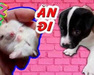 Tony | Trận Chiến Của Chuột Hamster MILO Và Chó BẮP - DOG VS HAMSTER - tony tran chien cua chuot hamster milo va cho bap dog vs hamster