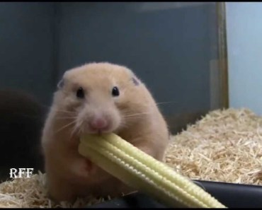 [Weird] Hamster Shoves Whole Corn on the Cob in Cheek - weird hamster shoves whole corn on the cob in cheek