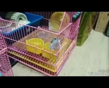Winter White Hamster JailBreak caught on camera! - winter white hamster jailbreak caught on camera