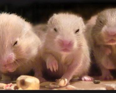 A lot of hamster babies - nom nom nom - day 14 (Lilli.Mrs.Emma.the.Hamster) sweet HD - a lot of hamster babies nom nom nom day 14 lilli mrs emma the hamster sweet hd