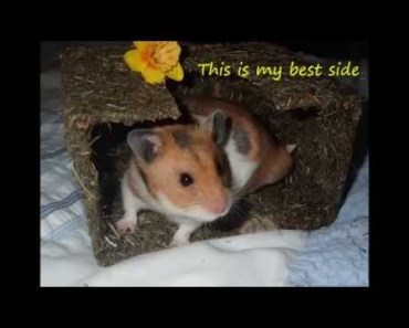 Charlie the Hamster having fun - funny and cute - charlie the hamster having fun funny and cute