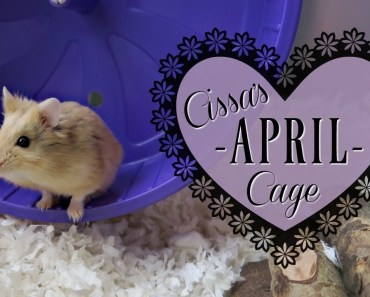Cissa the Hamster's Cage Cleaning! (timelapse) - cissa the hamsters cage cleaning timelapse
