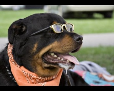 Cute And Funny Rottweiler Videos Compilation - Rottweilers Really Dangerous Dog ? - cute and funny rottweiler videos compilation rottweilers really dangerous dog