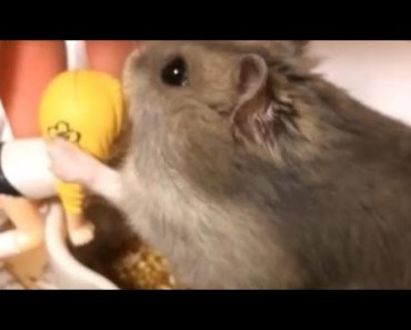 Cute Hamster Doing Funny Things | Funny Hamster Compilation # 35 - cute hamster doing funny things funny hamster compilation 35