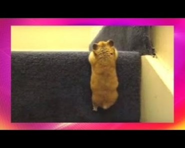 Cute Hamster Doing Funny Things   Funny Hamster Compilation # 40 - cute hamster doing funny things funny hamster compilation 40