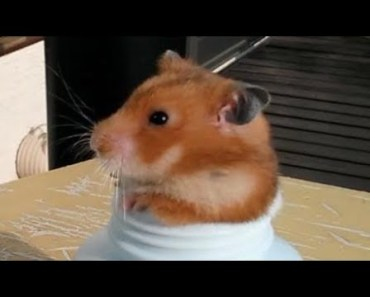 Cute Hamster Doing Funny Things | Funny Hamster Compilation # 47 - cute hamster doing funny things funny hamster compilation 47