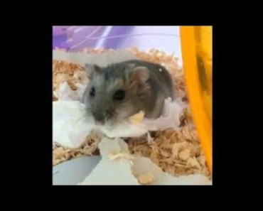 Cute Hamster Doing Funny Things   Funny Hamster Compilation # 60 - cute hamster doing funny things funny hamster compilation 60