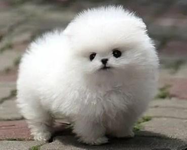 Cute Pomeranian Puppies Videos Compilation #5 | Funniest Pomeranian Videos 2017 - cute pomeranian puppies videos compilation 5 funniest pomeranian videos 2017