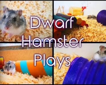 Cute Russian Dwarf Hamster Plays | Smokey - cute russian dwarf hamster plays smokey