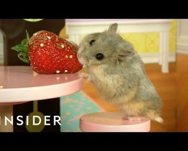 Dwarf Hamsters Live In A Tiny Mansion - dwarf hamsters live in a tiny mansion