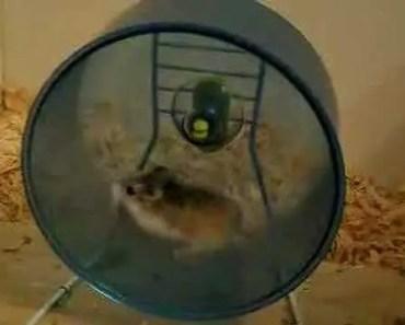Fast Robo Hamster on Wheel - fast robo hamster on wheel
