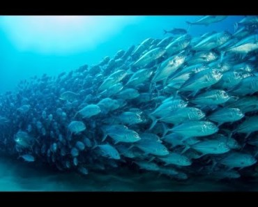FISH ARMY - The Power Of Teamwork - Amazing Fish Swarm Videos Compilation 2018 [BEST OF] - fish army the power of teamwork amazing fish swarm videos compilation 2018 best of