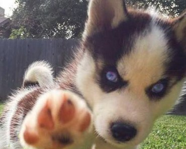 Funny And Cute Husky Puppies Compilation - funny and cute husky puppies compilation