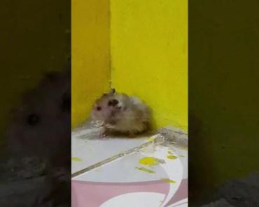 Funny Hamster. On HASH Cake!! - funny hamster on hash cake