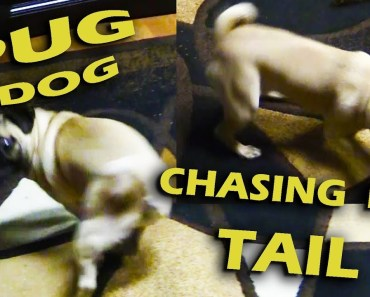 Funny Pug Dog chasing its tail - funny pug dog chasing its tail