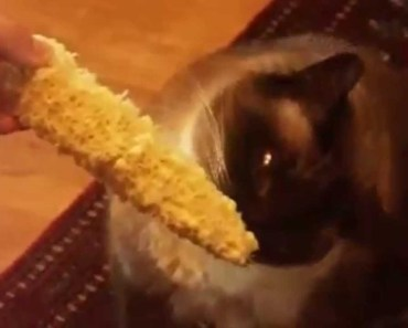 Funny Videos Animals Eats Corn Compilation - funny videos animals eats corn compilation