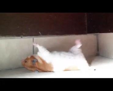hamster falls backwards - hamster falls backwards