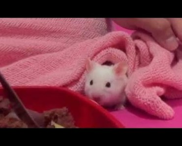 Hamster | Hamster Cage Tour | Cute Hamster Doing Funny Things Part 13 - hamster hamster cage tour cute hamster doing funny things part 13