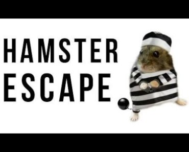 Hamster | Hamster Cage Tour | Cute Hamster Doing Funny Things Part 15 - hamster hamster cage tour cute hamster doing funny things part 15