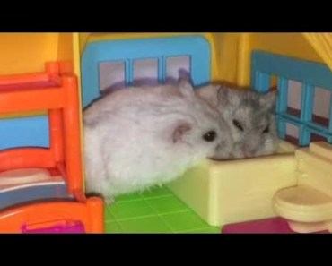 Hamster | Hamster Cage Tour | Cute Hamster Doing Funny Things Part 19 - hamster hamster cage tour cute hamster doing funny things part 19