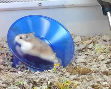 Hamster on a spinning Disc. - hamster on a spinning disc
