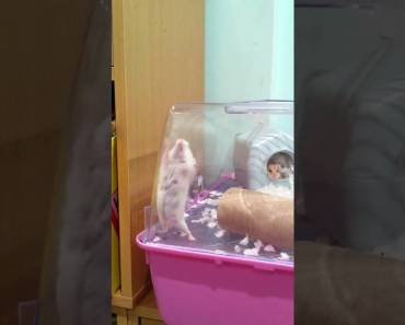 Hamster out!! Funniest hamster ever - hamster out funniest hamster ever