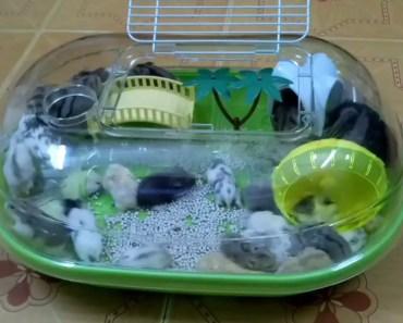 Hamster tắm biển Hawai - hamster tam bien hawai