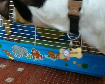 Jack Russel terrier meets hamster - jack russel terrier meets hamster