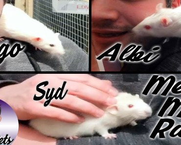MEET MY RATS! Albi, Syd & Diego - meet my rats albi syd diego