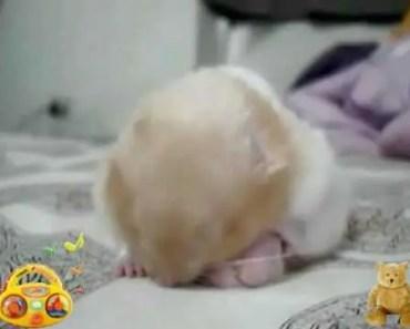 Sleeping Hamster With Big Balls - sleeping hamster with big balls