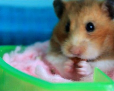 The Cutest Hamster In The World - the cutest hamster in the world