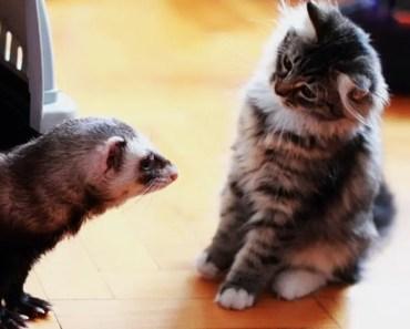 TOP Ferret VS Cat Funny Play Fighting Compilation 2018 - Funny cat video - top ferret vs cat funny play fighting compilation 2018 funny cat video