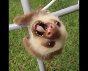 Baby Sloth - baby sloth
