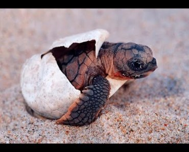 BABY TURTLE HATCHING! Cutest Baby Turtle Hatching Compilation! - baby turtle hatching cutest baby turtle hatching compilation