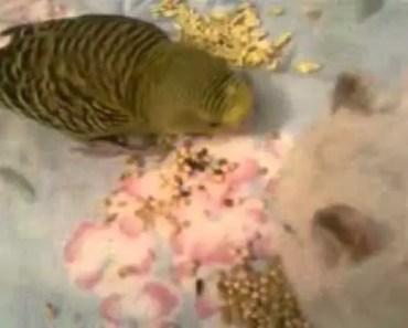 Budgie & Hamster weird friendship :D - budgie hamster weird friendship d