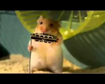 Chuột hamster chơi nhạc - chuot hamster choi nhac
